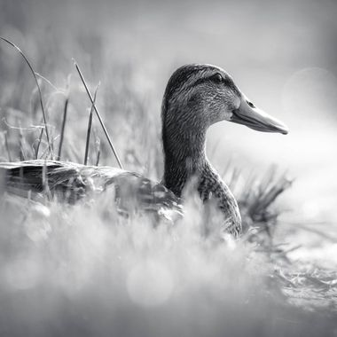 I had decided to revisit the refuge for a second time this.  I was surprised it didn't move despite me and another driver were both stopped.  I headed towards the water and layed on my belly to get this shot of her.  I felt B&W really added to the mood of the shot.
