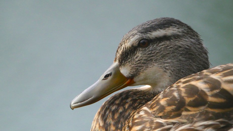 Duck in Profile
