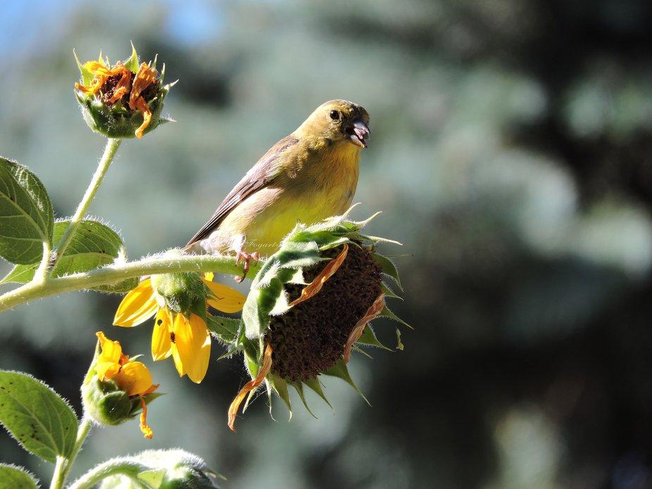 Gold American Finch-wm-2
