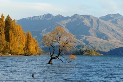 Tree in Lake Wanaka in Autumn.
