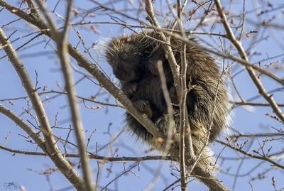 Porcupine in a Tree (1)