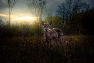 Young Springtime Whitetail