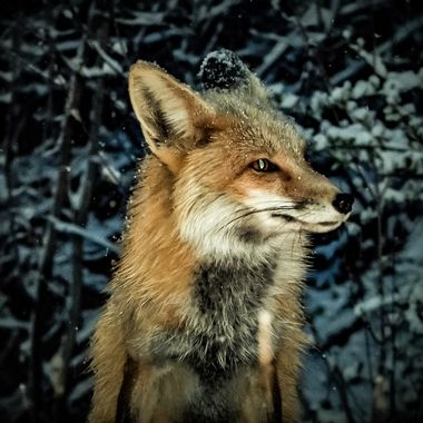 Beautiful Foxy