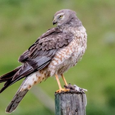 northern Marsh Hawk