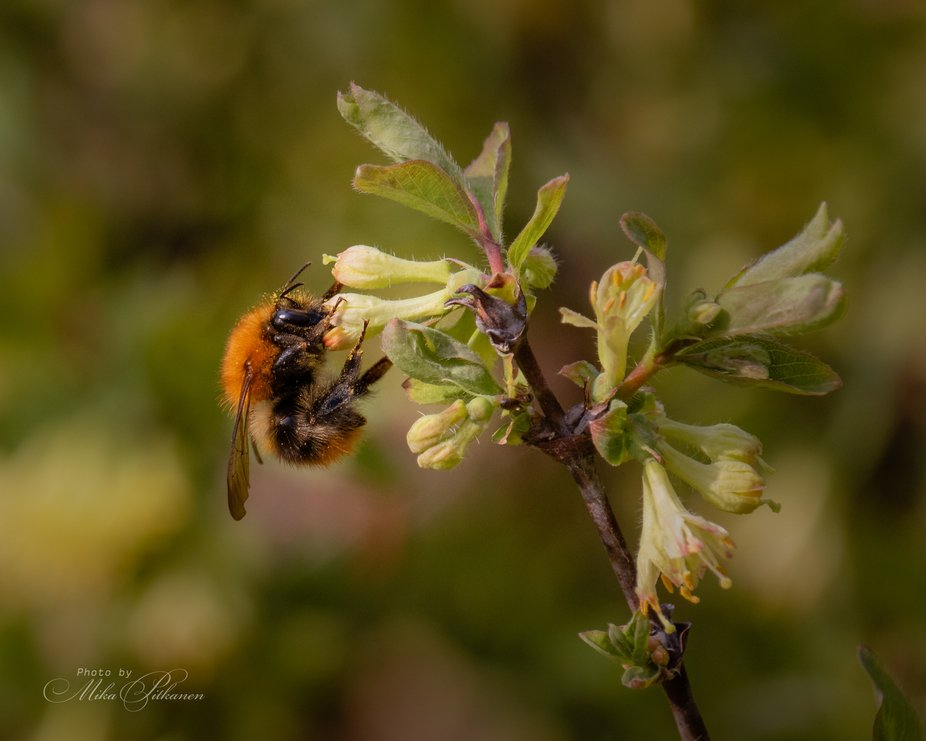 Bumble bee pollinating spring flowers.