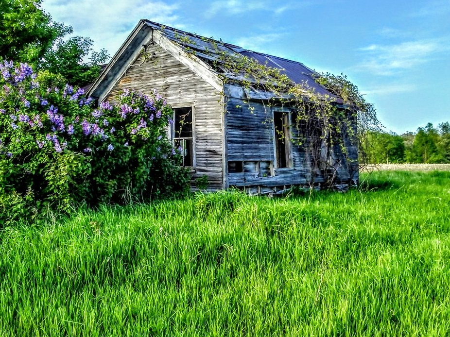 Evening shot of old shack surrounded by blooming lilacs