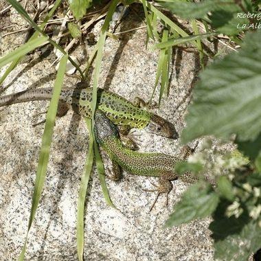 ....los lagartos verdinegros (Lacerta scheriberi), un endemismo (Solo existen en el centro de España). Aqui se aprecia el dimorfismo sexual de ambos (El macho cabeza azul).