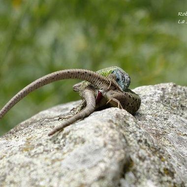 ....los lagartos verdinegros (Lacerta scheriberi), un endemismo (Solo existen en el centro de España). Aqui se aprecia el dimorfismo sexual de ambos (El macho cabeza azul). El macho muerde a la hembra para inmovilizarla y acercan sus cloacas.