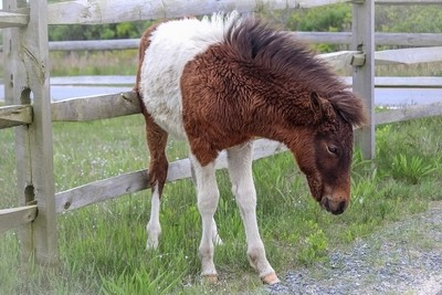 Assateague Wild Horses - Baby Breezy