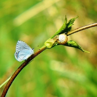 Holly Blue Butterfly and Snail.