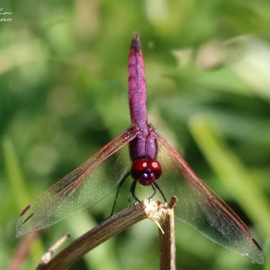 Violet Dropwing Dragonfly