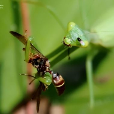 Preying mantis eating a Paper Wasp