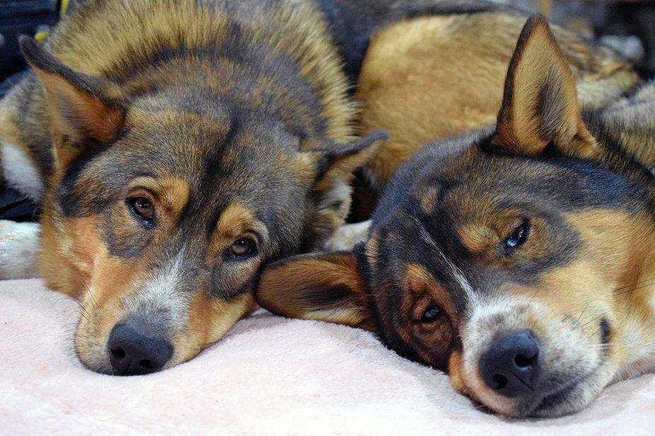 Tired Dog Siblings