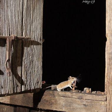Raton leonado (Apodemus flavicollis),de distribucion europea. Necesita bosque de tipo atlantico (Humedo y caducifolio). Fotografiado en La Alberca (Sierra de Francia-Spain). Le habia puesto el tocino de jamon para los carnivoros nocturnos y se lo llevaba el raton)
