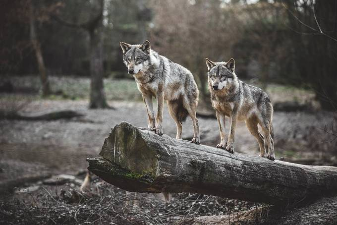 Behind The Lens: Two Hunting Wolves
