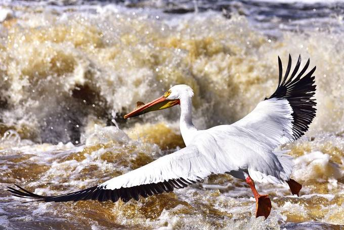 Taken at Clementson on the Rapid River where the pelicans congregate every spring