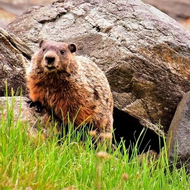 Groundhog that posed with a smile at the lake!