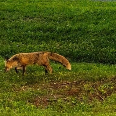 Just before night fall the Red Fox stalks its prey.