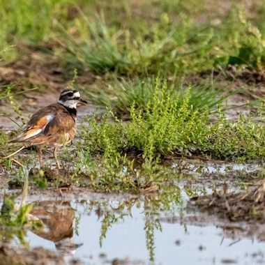 Killdeer In the evening  DSC_3695-2