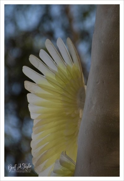Wing of Sulphur Crested Cockatoo