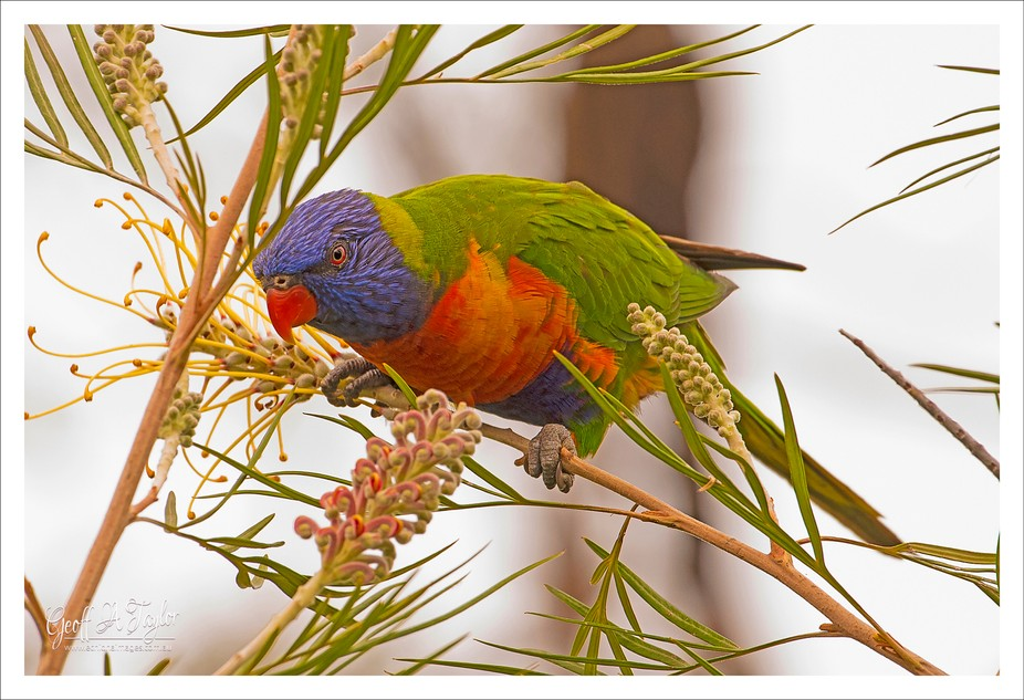 The Rainbow Lorikeet is a medium sized bird found often in eastern and south eastern Australia. I...
