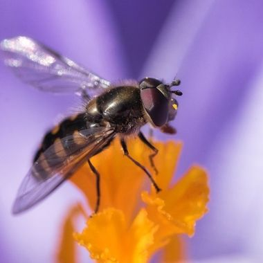 Pollination in action. The hoverfly does an important job flying from flower to flower.