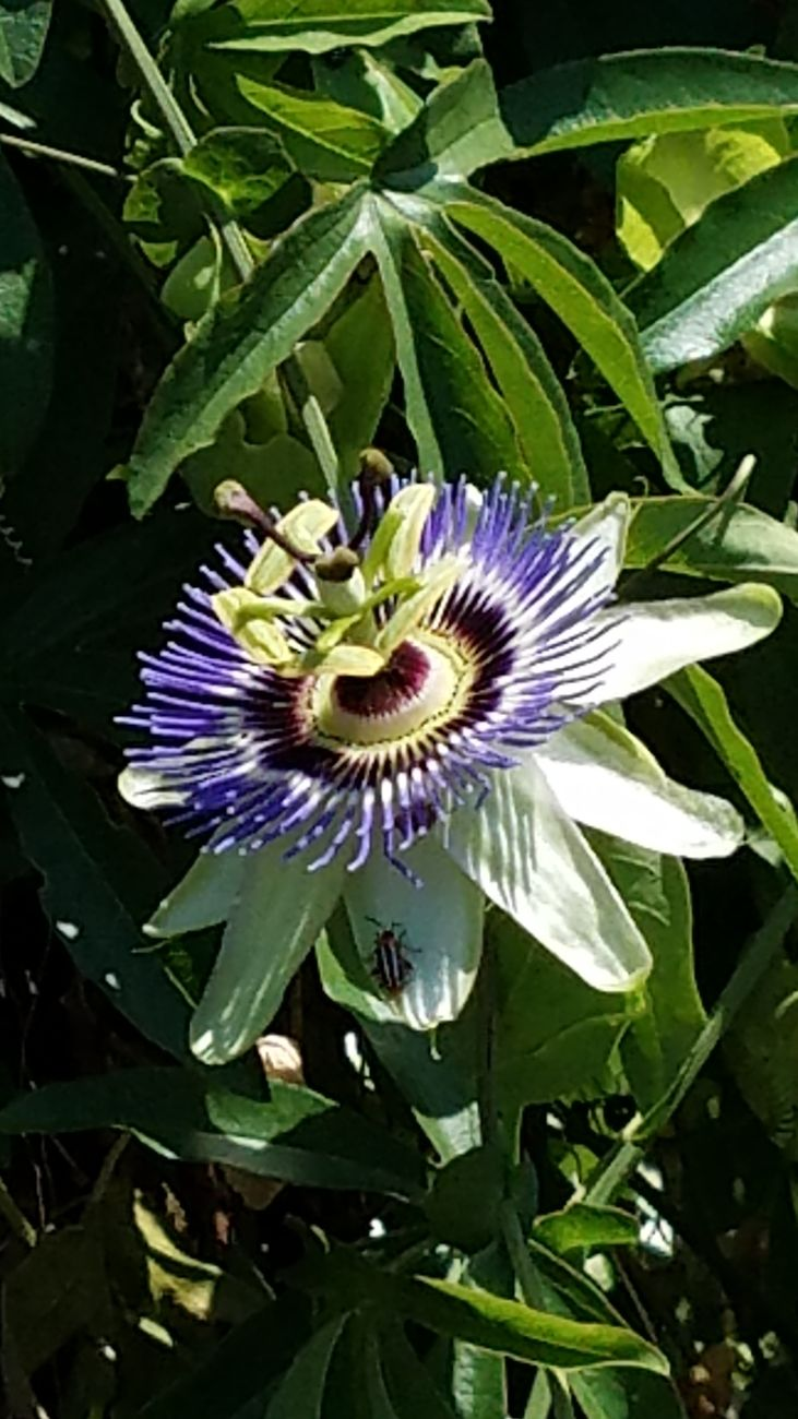 Bug on Passion Flower