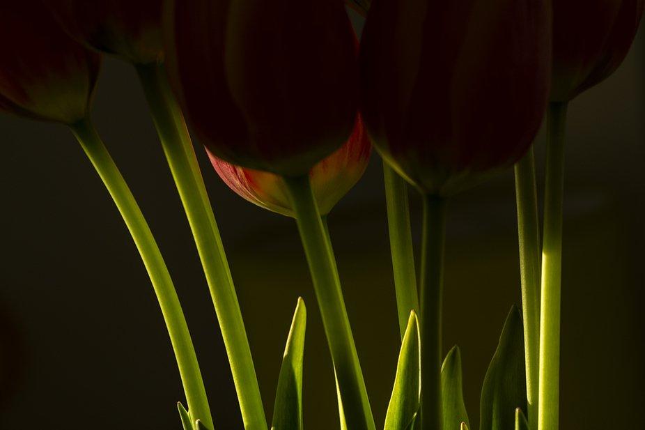 macro detail of tulip flower green stems