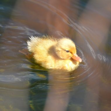 Little ducky2