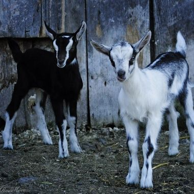 Baby Goats at Willow-Witt Ranch
