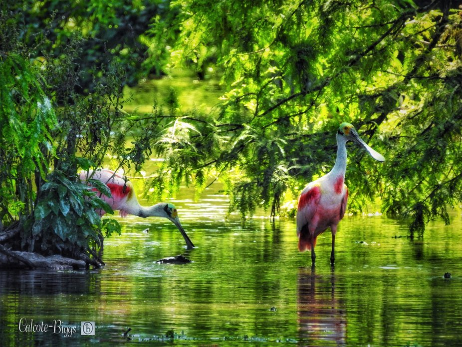 Sneak peek of my first outing for summer.  Roseate Spoonbill- A first for me! What a great way to...