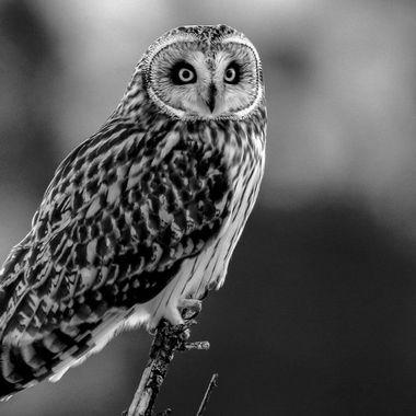 Short Eared Owl 20