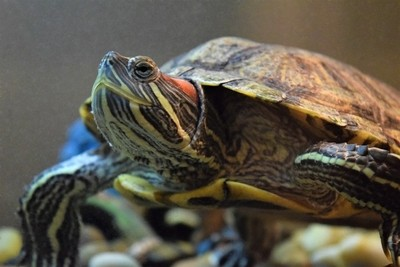 Red Eared Slider Close-up