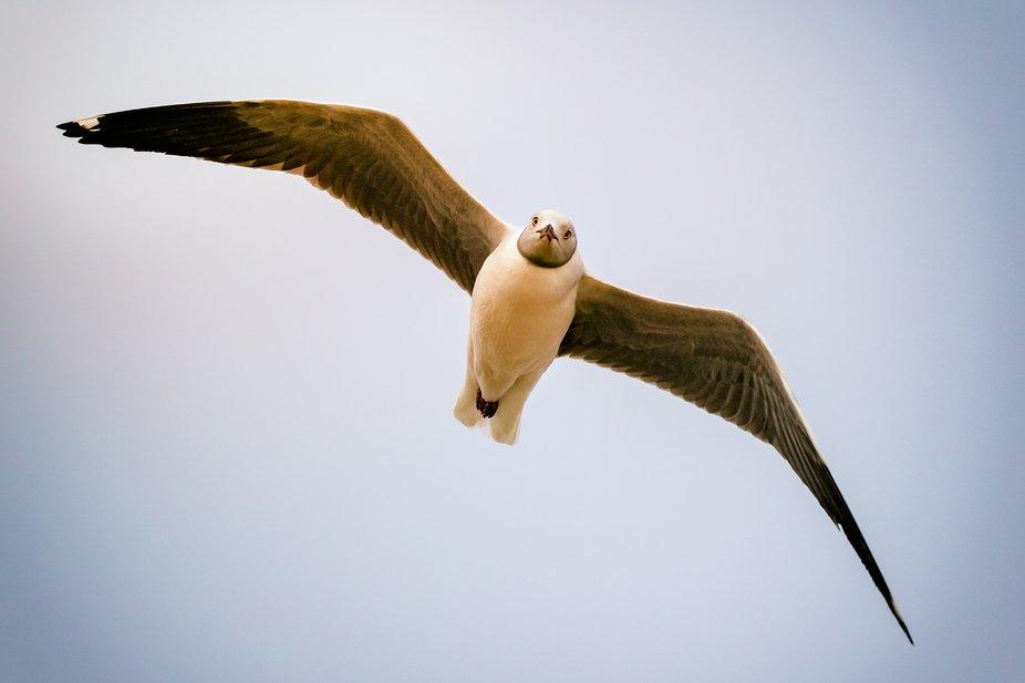 Hartlaub's Gull - Muisbosskerm near Lambert's Bay, located on the West Coast of...