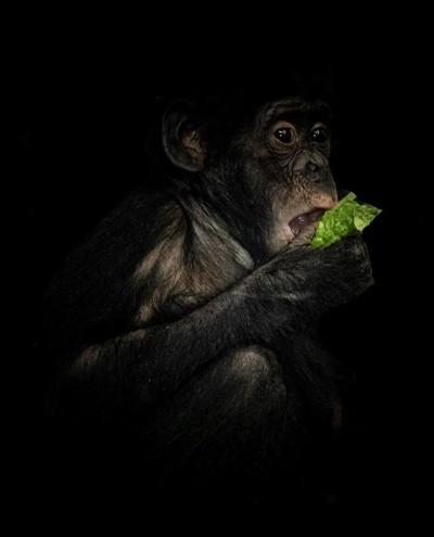 DSC_9717 Bonobos -  Monkey potrait (2)