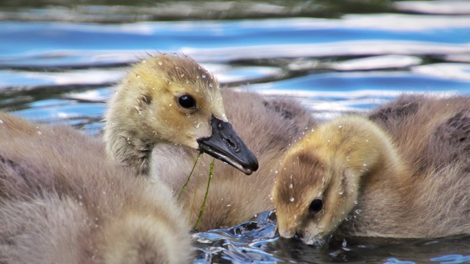 A group of goslings go for a swim at the lagoon.