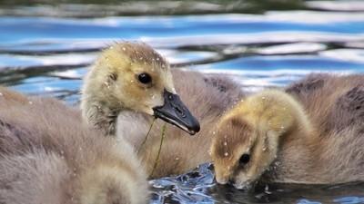Goslings Go For a Swim
