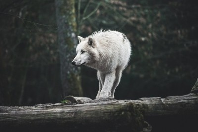 The shape of the white wolf