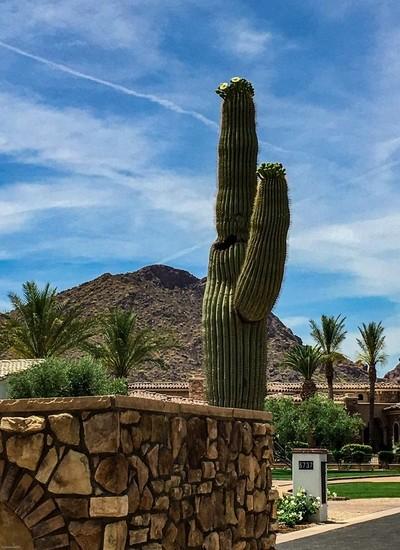 Blooming Saguaro - residential