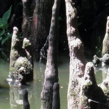 Cypress Knees copy
