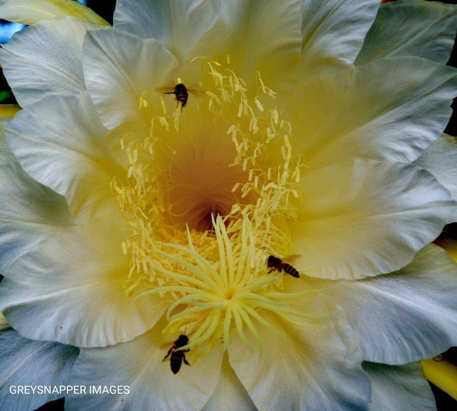 Dragonfruit flower