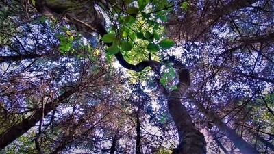 lookingupfromforestfloor