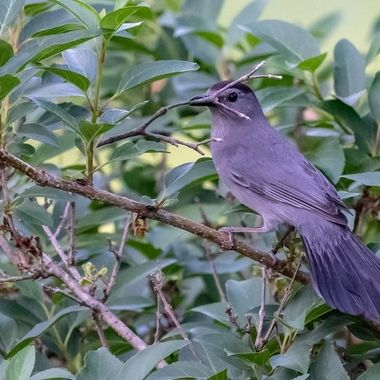 Catbird collecting nesting material just before sunset.