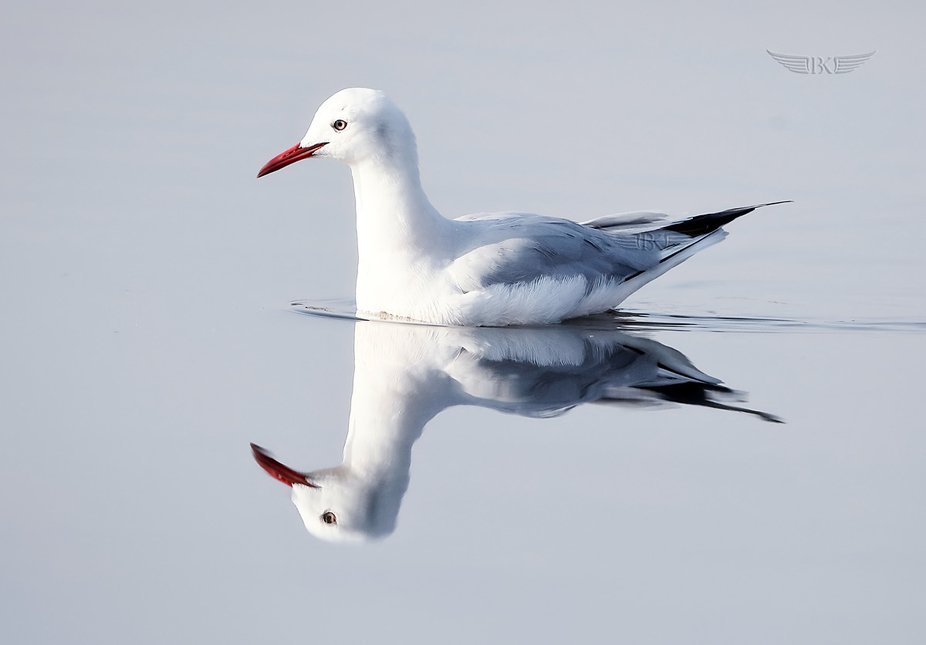 A perfect reflection of a 'Brown-headed gull' in clear waters