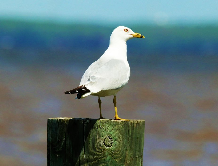 Sea Gull by the Water
