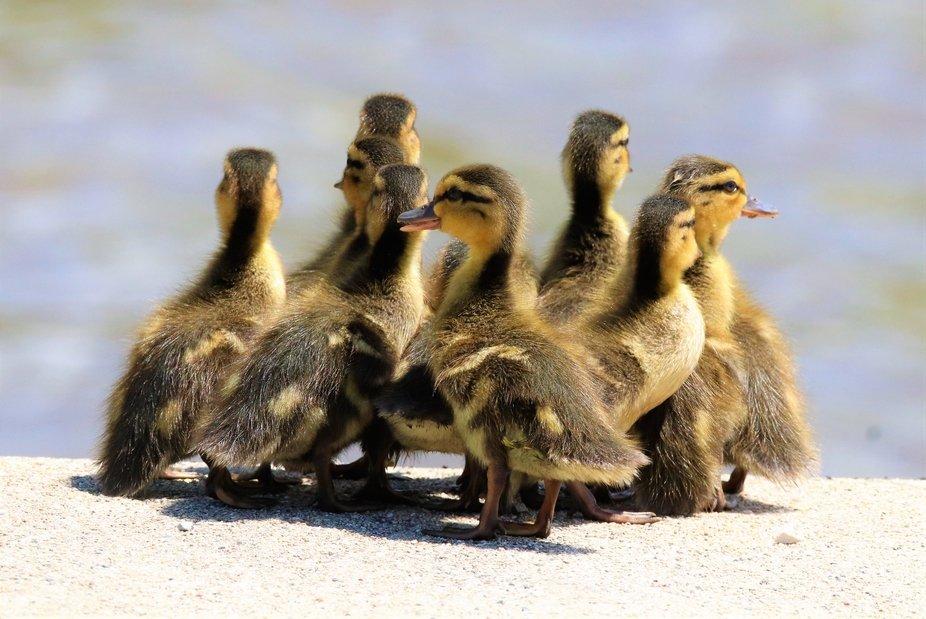 Cute baby Geese