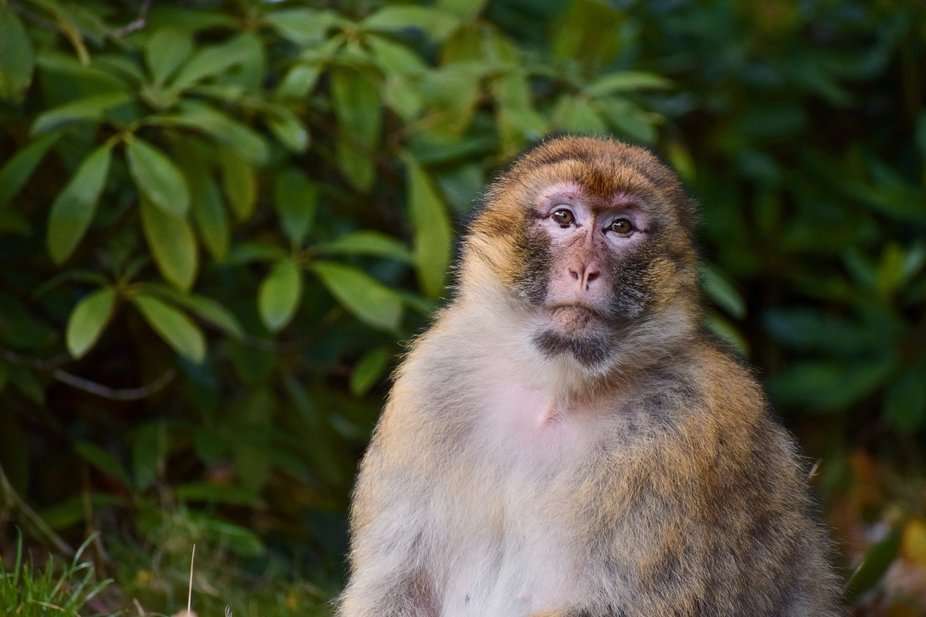 A Barbary macaque at Trentham Monkey Forest. These primates have free range of the park, which en...