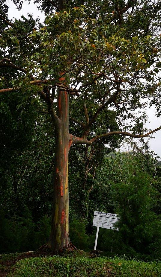 Regenbogeneucalyptus