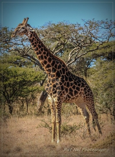 Giraffe in the wild 085