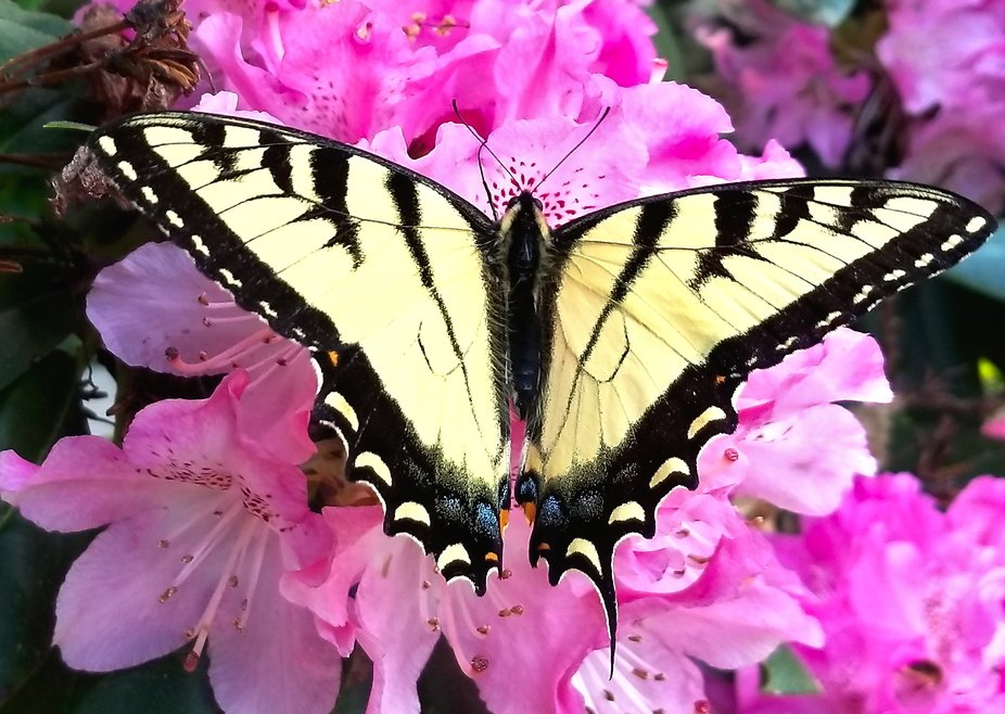 Eastern Tiger Swallowtail Butterfly  Sighted in Groton, CT USA  On a rhododendron   https://en.wi...